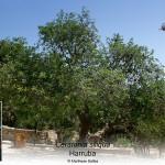 Ceratonia siliqua-inline