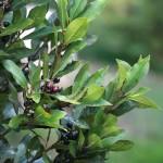 Laurus nobilis-inline
