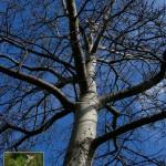 Popolus Alba-inline