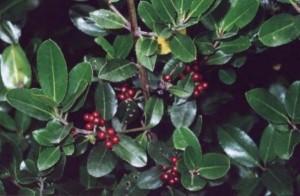 rhamnus-alaternus